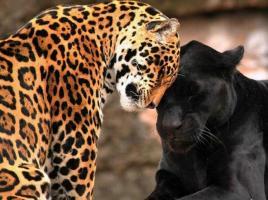 thumb_pre_1393945339__jaguars.jpg